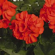 Geranium Patriot Orange.jpg
