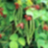 Scarlet Runner Bean.jpg
