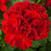 Calliope Large Red.jpg