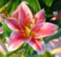 Oriental_Lily_Mona_Lisa-1-520x485.jpg