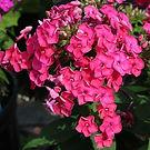 Phlox Ka Pow Pink.jpg