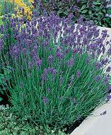 Lavender_Munstead.jpg