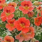 Nasturtium Alaska Apricot.jpg