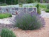 Lavender Grosso.jpg