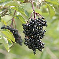 Samdal Elderberry.jpg
