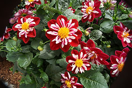 Dahlia Starsister Red and White.jpg