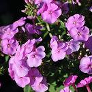 Phlox paniculata ka-pow Lavender.jpg