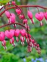 Pink Bleeding Heart.jpg
