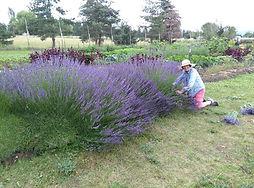 grosso lavender.jpg