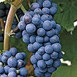Grape Concord Seedless.jpg