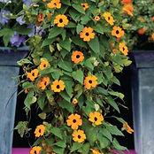 Thubergia vine.jpg