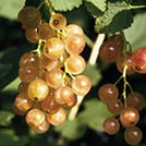 Currant Pink Champagne.jpg