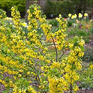 crandall currant flowers_edited.jpg
