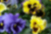 blue and yellow pansies (frizzle).jpg