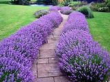 Hidcote Lavender hedge.jpg