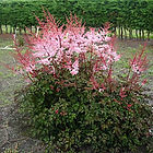 Astilbe Japonica Delft Lace.jpg