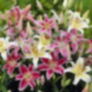 Lily Oriental Bulbs Mix.jpg