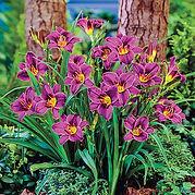 Daylily Purple d'Oro.jpg