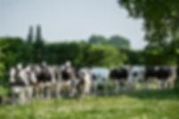 melkveehouderij Groene Woud.jpg