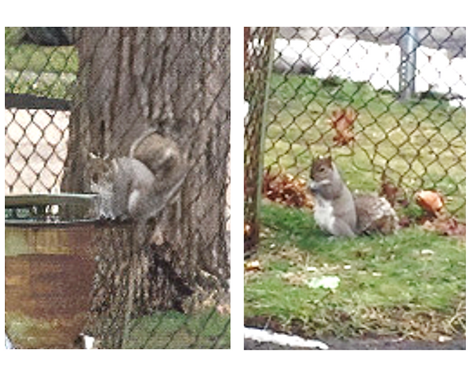 The Obesity of Squirrels