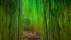 Maui Bamboo Forest (2)
