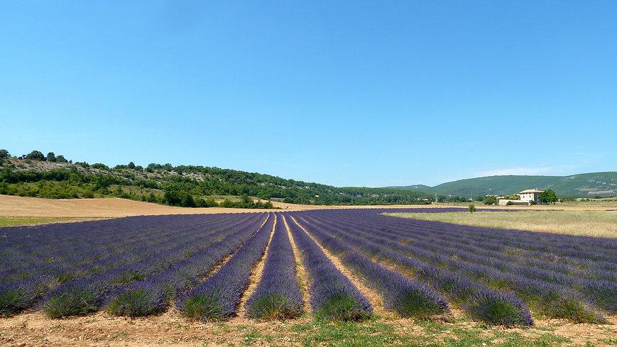 Цветущее поле лаванды Франция