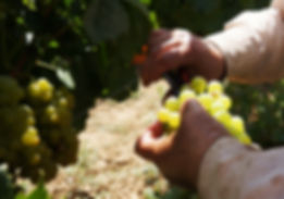 Сбор винограда на острове Крит Греция Domaine Paterianakis