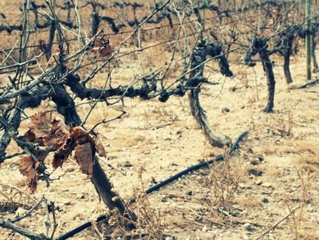 Глобальное потепление разрушает винные терруары. Что будет?