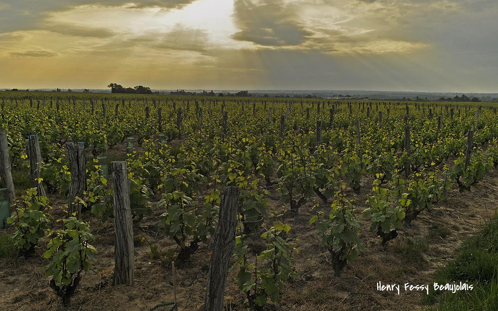 Виноградники Божоле Франция