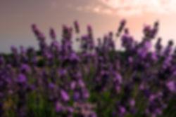 Цветение лаванды Прованс