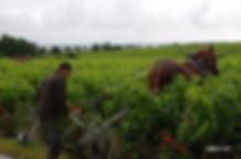 На фото: работа на виноградниках в Chateau Latour
