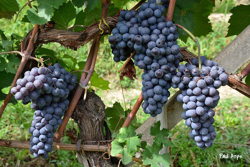 Виноградники Италии