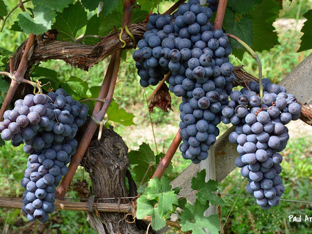 Италия — мировой лидер по объему производства вина 2015 г.