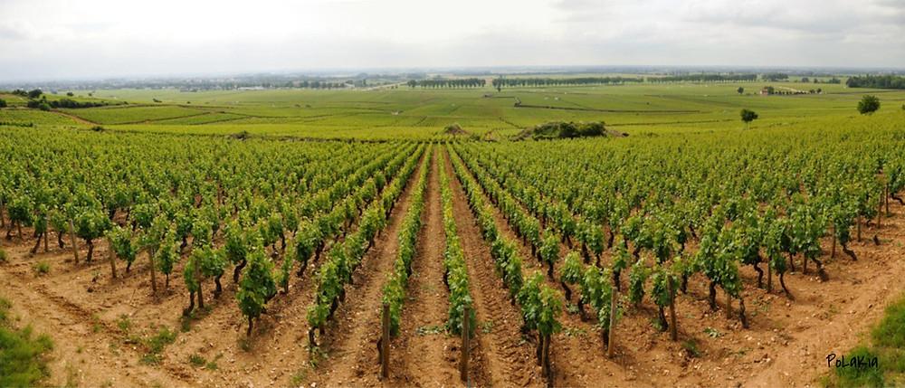Виноградники Шампани и Бургундии