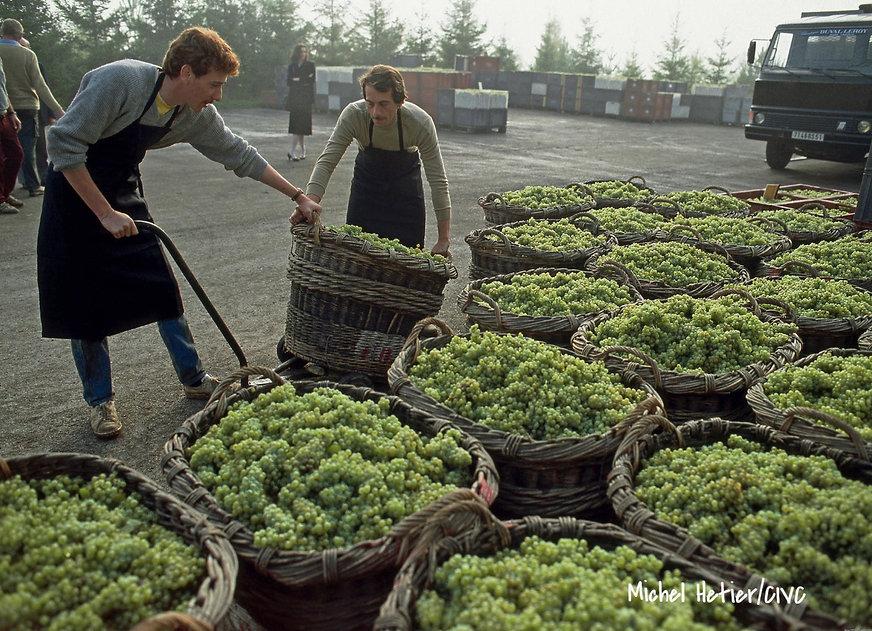 Сбор винограда в Шампани