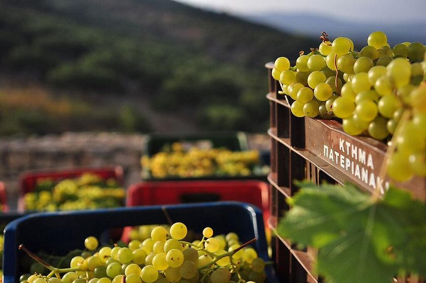 виноградники острова Крит