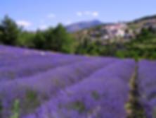 Цветение лаванды во Франции