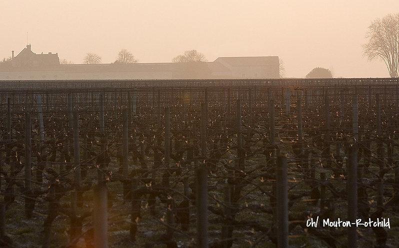 На фото: виноградник Chateau Mouton-Rothschild