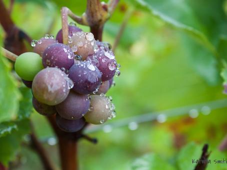 Град уничтожил 300 га виноградников в Шампани