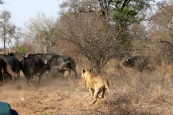 The Hunt, Kruger NP.jpg