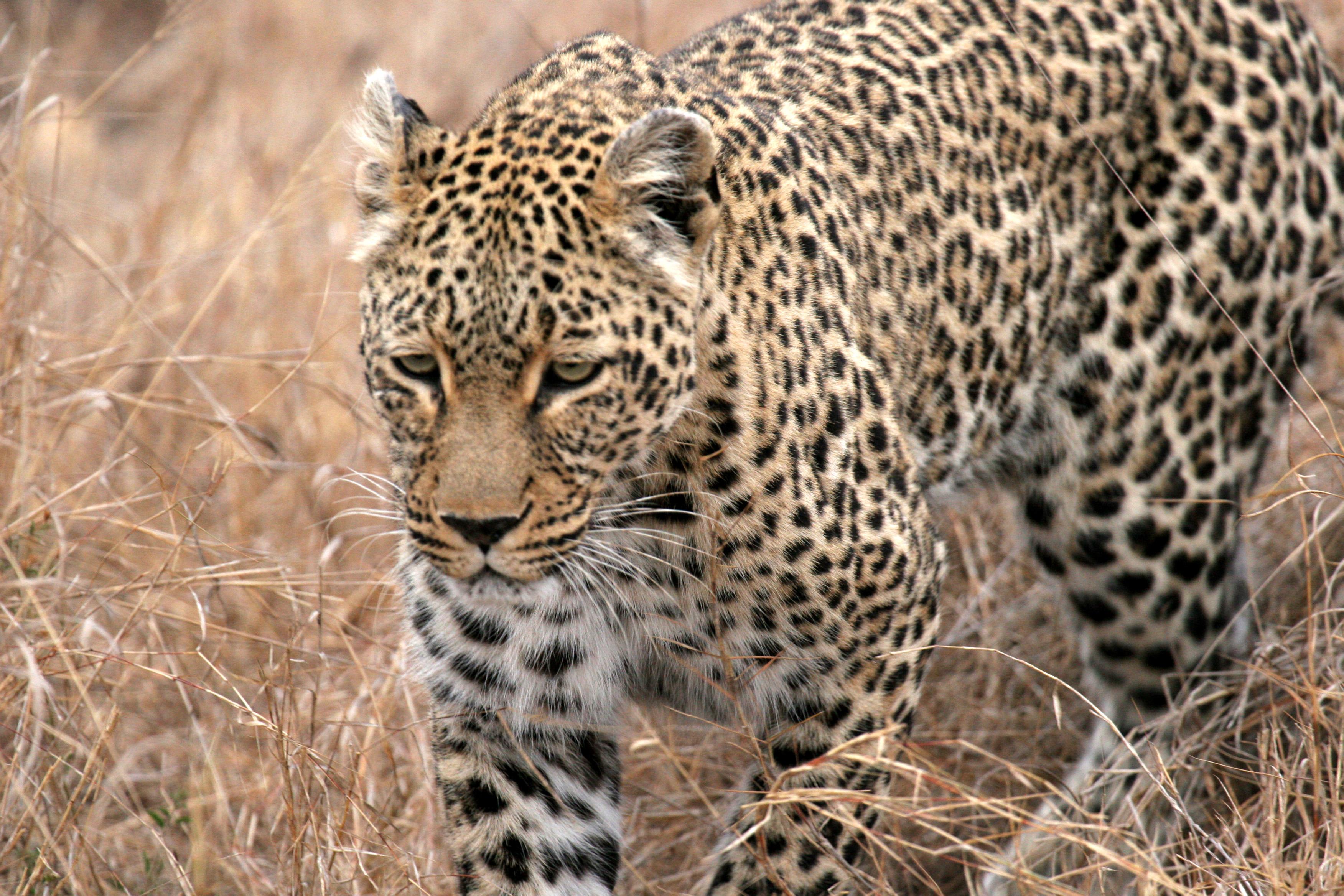 Leopard, Kruger NP.JPG