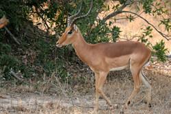 Impala, Kruger NP.jpg