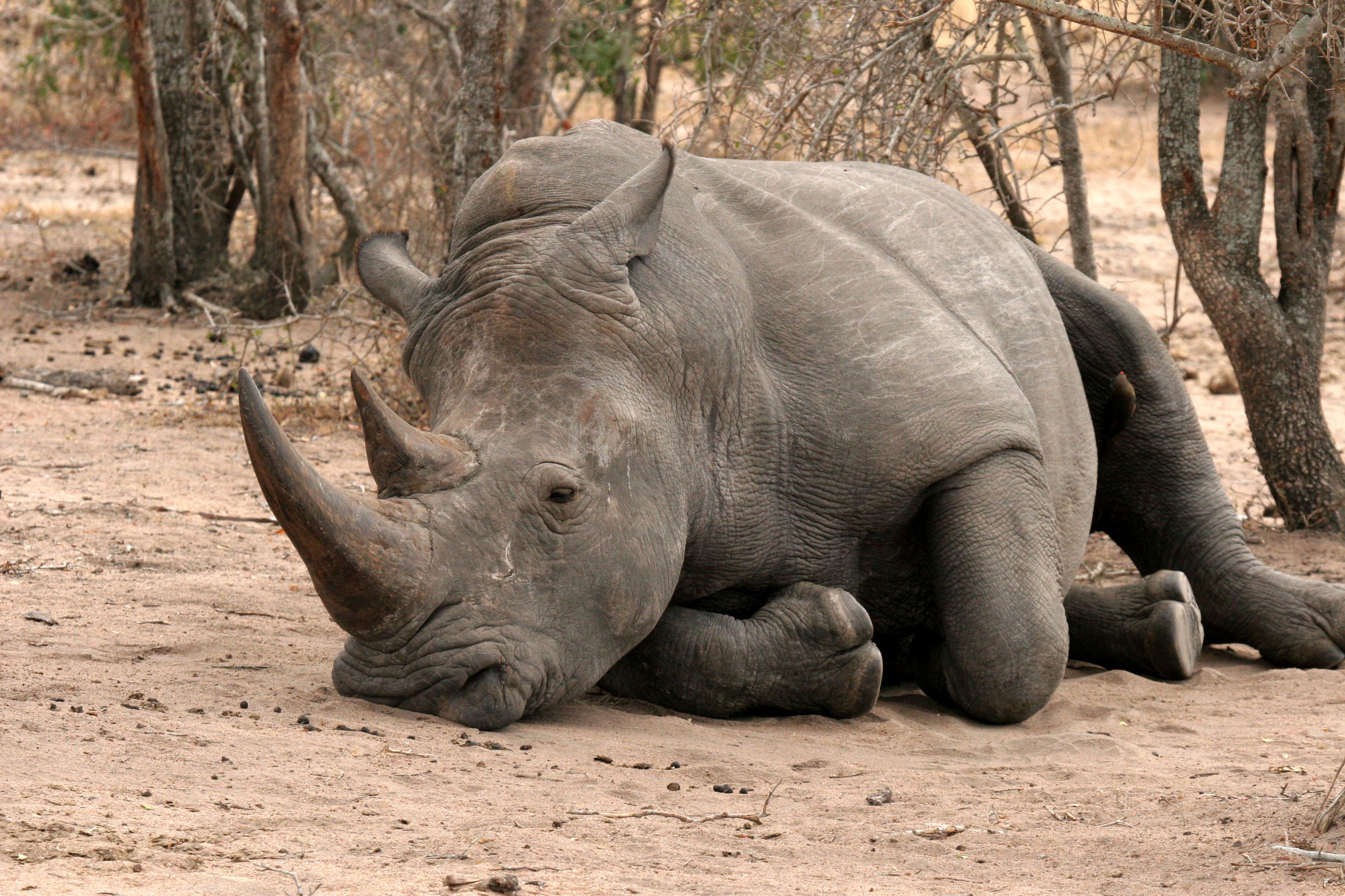 Rhino, Kruger NP.JPG