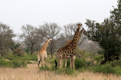 Giraffes, Kruger NP.JPG