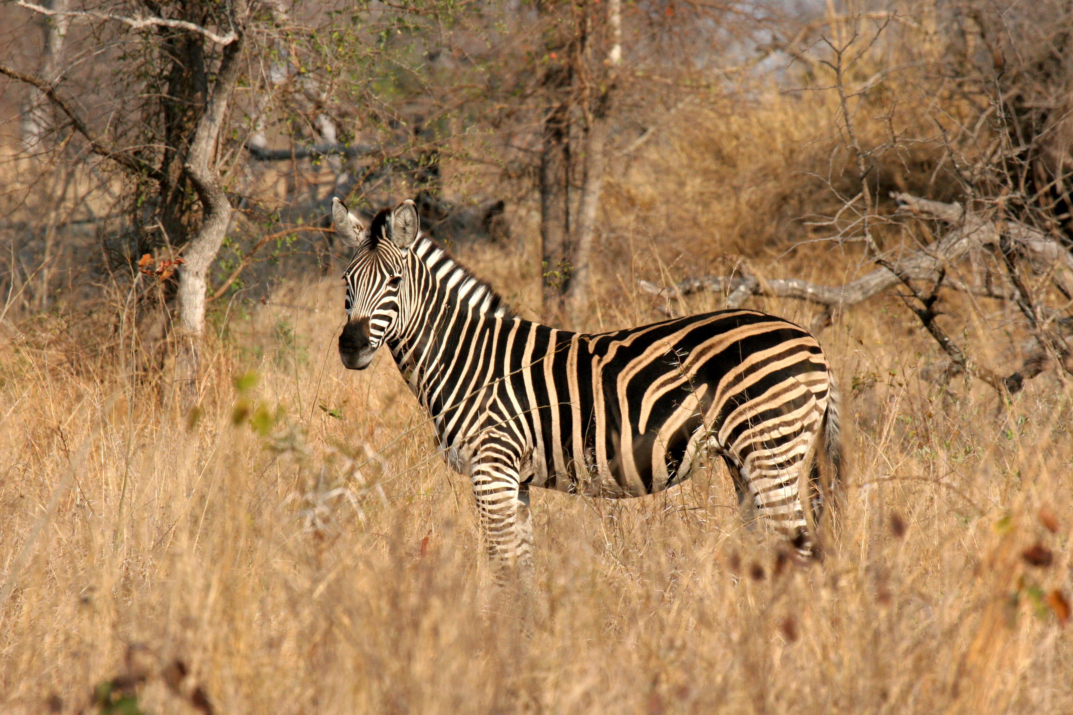 Zebra, Kruger NP.jpg