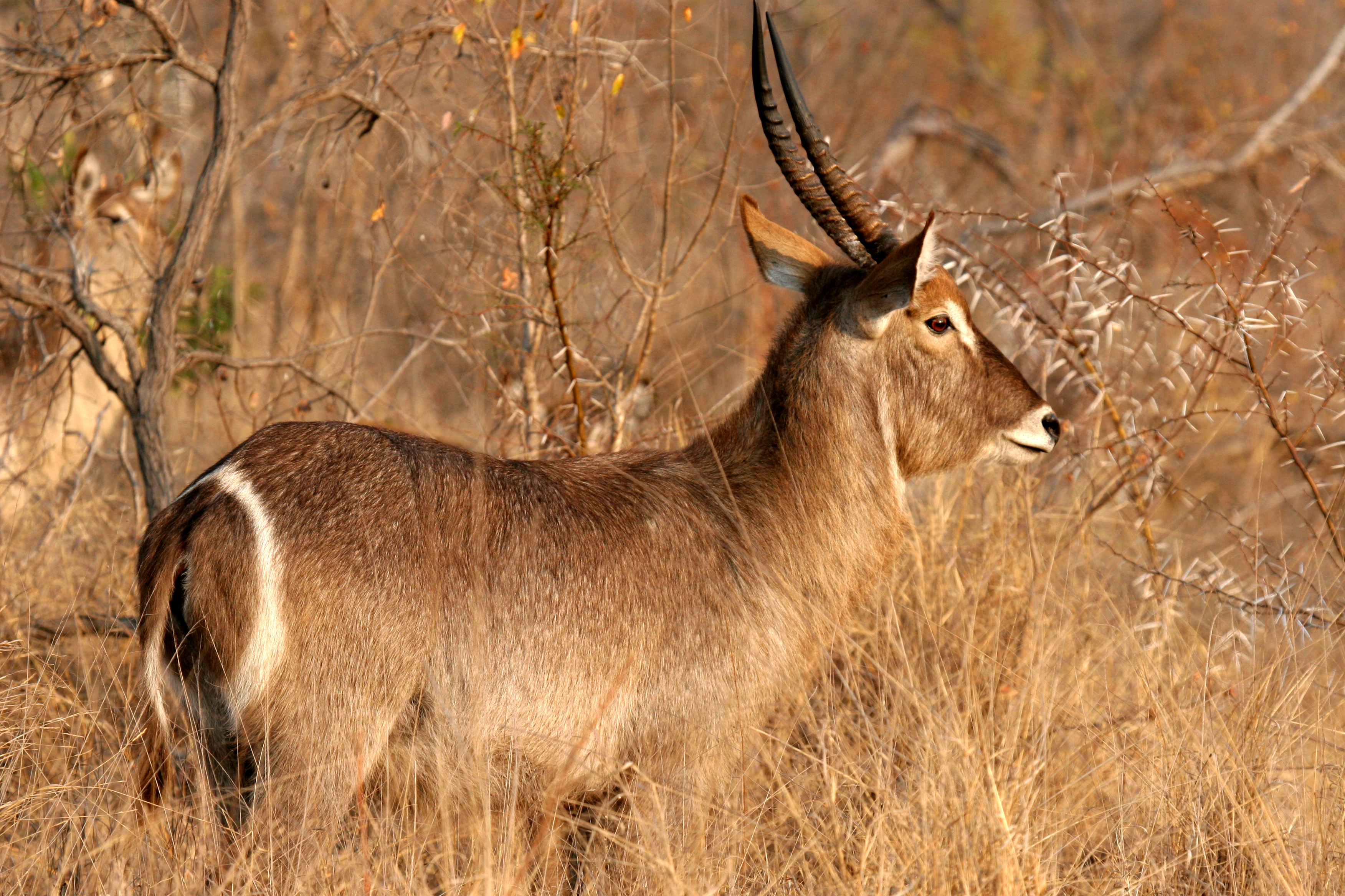 Waterbuck, South Africa.jpg
