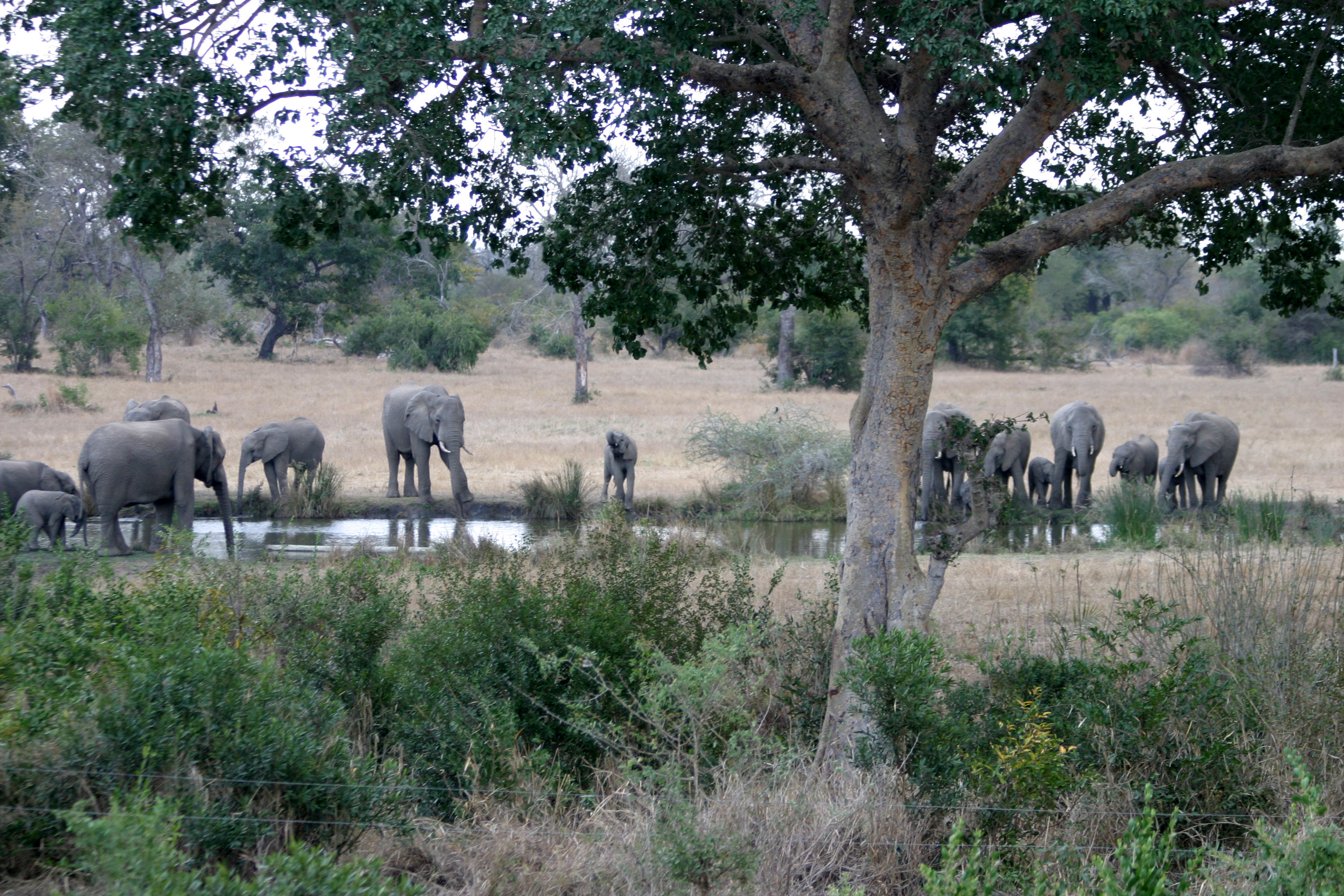 Elephants, Sabi Sabi, South Africa.jpg