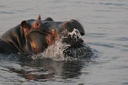 Hippo, Chobe River