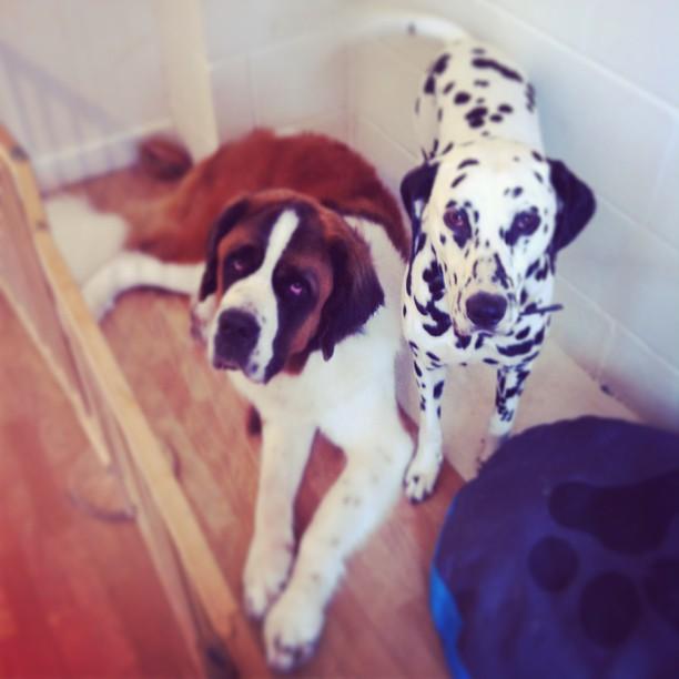 #stbernhard #dalmatian #dog #doggroomer