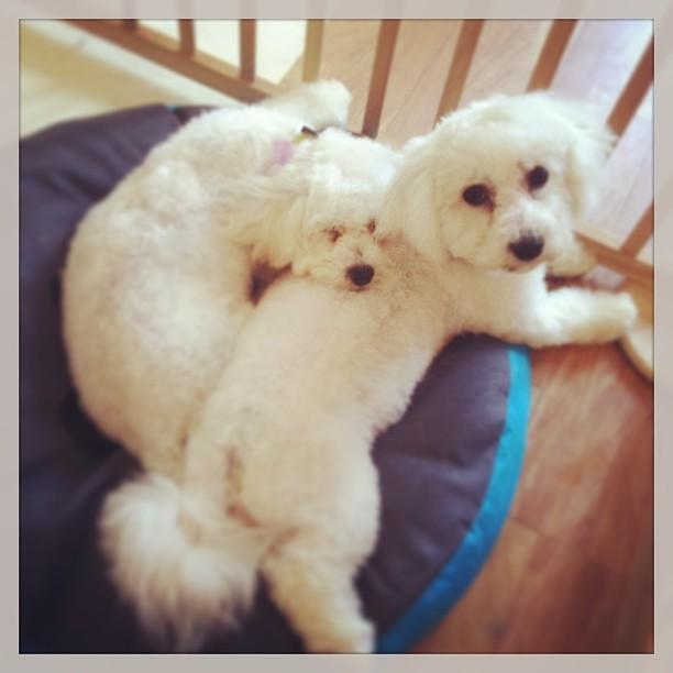 Sleepy Bichon puppies #cutepuppies #bichon #doggroomer #puppy